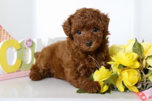 トイプードルの子犬(ID:1250011108)の1枚目の写真/更新日:2018-07-16