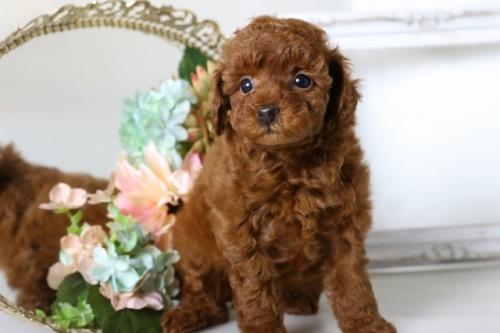 トイプードルの子犬(ID:1250011108)の2枚目の写真/更新日:2018-07-16