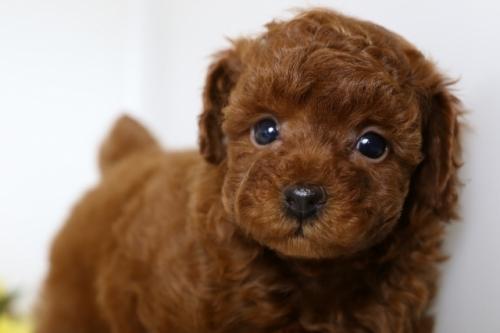 トイプードルの子犬(ID:1250011108)の3枚目の写真/更新日:2018-07-16