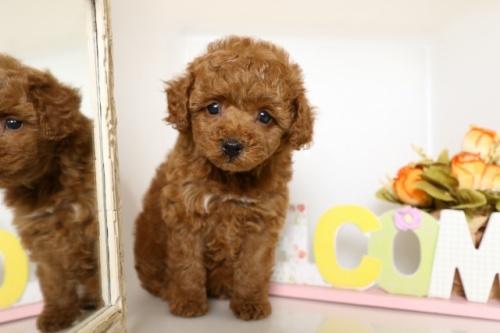 トイプードルの子犬(ID:1250011109)の1枚目の写真/更新日:2018-06-01