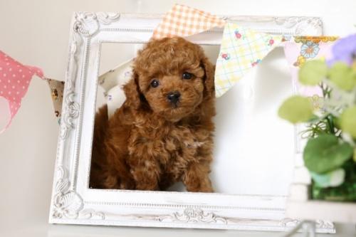 トイプードルの子犬(ID:1250011109)の2枚目の写真/更新日:2018-06-01