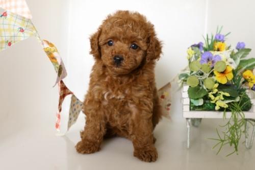 トイプードルの子犬(ID:1250011109)の3枚目の写真/更新日:2018-06-01