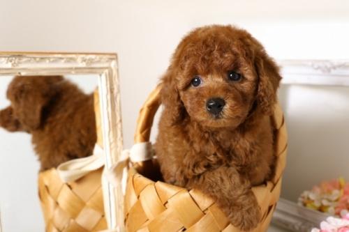 トイプードルの子犬(ID:1250011110)の1枚目の写真/更新日:2018-06-18