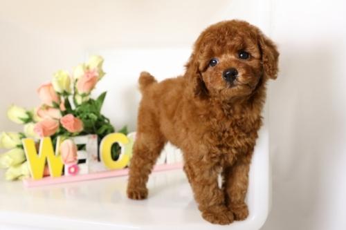 トイプードルの子犬(ID:1250011110)の2枚目の写真/更新日:2018-06-18