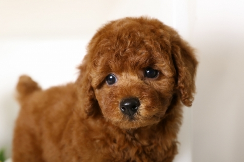 トイプードルの子犬(ID:1250011110)の3枚目の写真/更新日:2018-06-18
