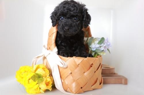 トイプードルの子犬(ID:1250011111)の1枚目の写真/更新日:2018-09-10