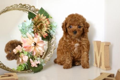 トイプードルの子犬(ID:1250011112)の1枚目の写真/更新日:2017-02-13