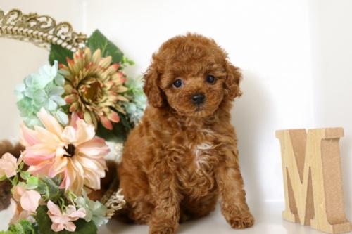 トイプードルの子犬(ID:1250011112)の2枚目の写真/更新日:2017-02-13