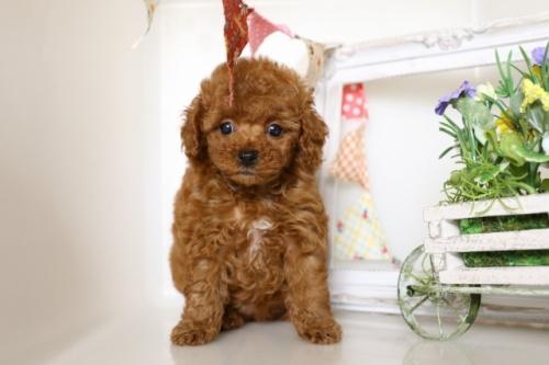 トイプードルの子犬(ID:1250011112)の3枚目の写真/更新日:2017-02-13