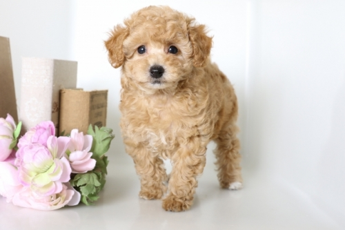 トイプードルの子犬(ID:1250011113)の1枚目の写真/更新日:2017-03-07