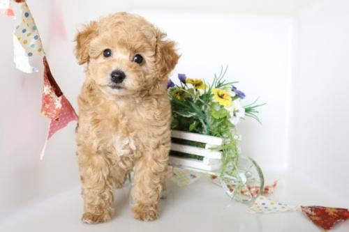 トイプードルの子犬(ID:1250011113)の2枚目の写真/更新日:2018-08-06