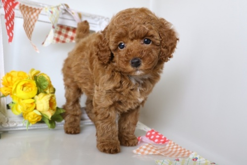 トイプードルの子犬(ID:1250011114)の1枚目の写真/更新日:2018-09-13