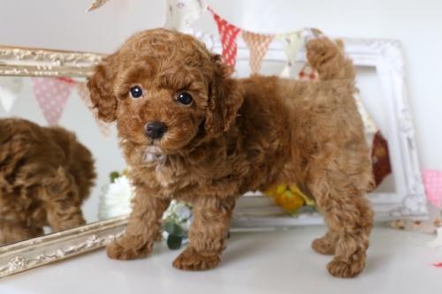 トイプードルの子犬(ID:1250011114)の2枚目の写真/更新日:2018-09-13