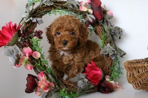 トイプードルの子犬(ID:1250011114)の3枚目の写真/更新日:2018-09-13