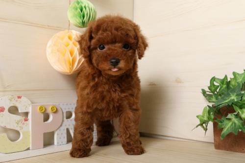 トイプードルの子犬(ID:1250011115)の1枚目の写真/更新日:2017-03-07