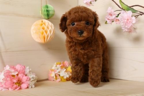 トイプードルの子犬(ID:1250011115)の2枚目の写真/更新日:2017-03-07