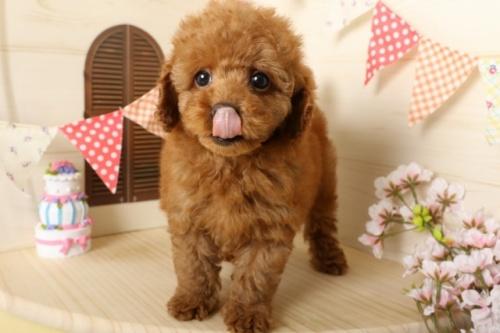 トイプードルの子犬(ID:1250011116)の1枚目の写真/更新日:2017-03-17