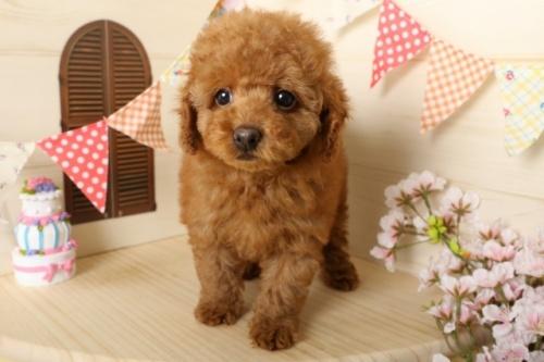 トイプードルの子犬(ID:1250011116)の2枚目の写真/更新日:2017-03-17