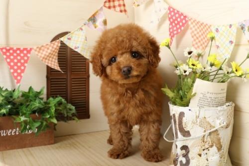 トイプードルの子犬(ID:1250011116)の3枚目の写真/更新日:2017-03-17