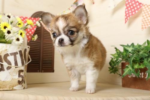 チワワ(ロング)の子犬(ID:1250011117)の1枚目の写真/更新日:2017-03-17