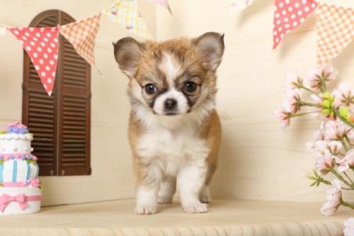 チワワ(ロング)の子犬(ID:1250011117)の2枚目の写真/更新日:2017-03-17