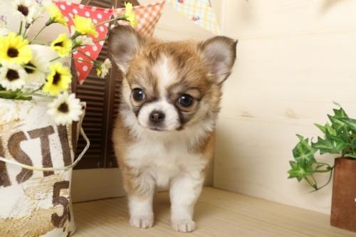 チワワ(ロング)の子犬(ID:1250011117)の4枚目の写真/更新日:2017-03-17