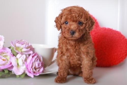 トイプードルの子犬(ID:1250011118)の1枚目の写真/更新日:2018-10-12