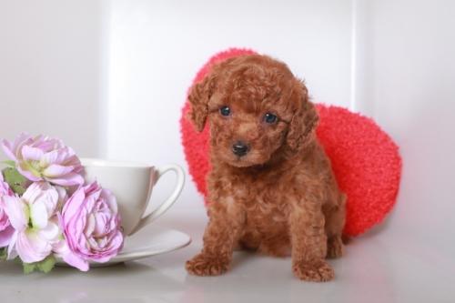 トイプードルの子犬(ID:1250011118)の2枚目の写真/更新日:2017-03-17