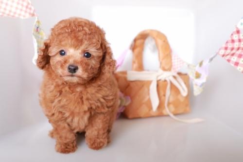 トイプードルの子犬(ID:1250011119)の1枚目の写真/更新日:2019-01-25