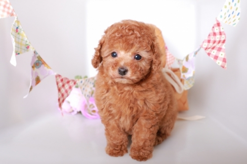 トイプードルの子犬(ID:1250011119)の2枚目の写真/更新日:2019-01-25