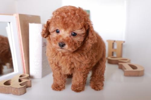 トイプードルの子犬(ID:1250011119)の3枚目の写真/更新日:2019-01-25