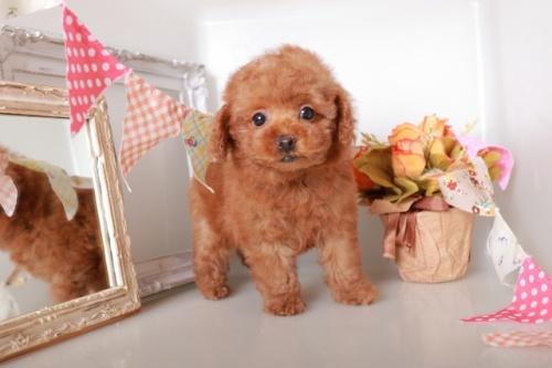 トイプードルの子犬(ID:1250011120)の1枚目の写真/更新日:2017-04-24