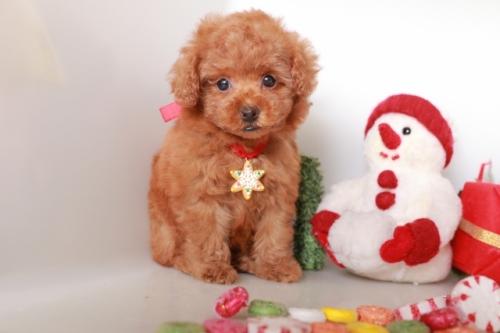 トイプードルの子犬(ID:1250011120)の2枚目の写真/更新日:2018-12-09