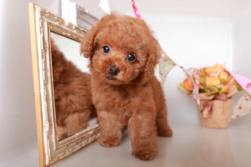 トイプードルの子犬(ID:1250011120)の3枚目の写真/更新日:2017-04-24