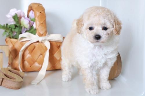 ポメラニアンの子犬(ID:1250011121)の1枚目の写真/更新日:2017-04-09