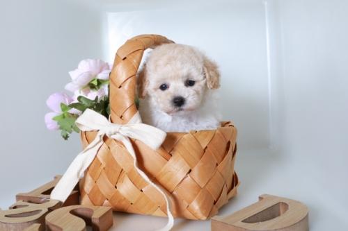 トイプードルの子犬(ID:1250011121)の2枚目の写真/更新日:2019-01-21
