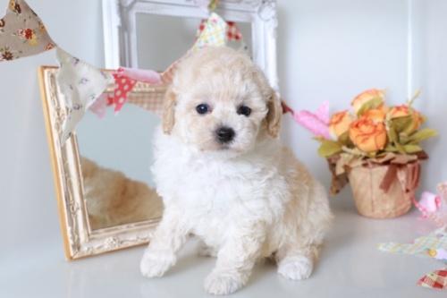 トイプードルの子犬(ID:1250011121)の3枚目の写真/更新日:2020-09-19