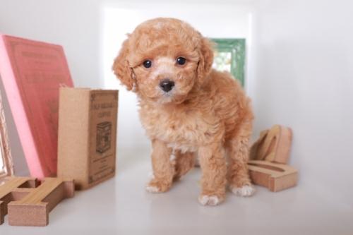 トイプードルの子犬(ID:1250011122)の2枚目の写真/更新日:2019-01-21