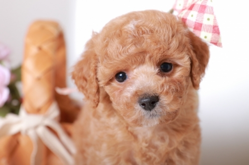 ミックスの子犬(ID:1250011122)の3枚目の写真/更新日:2017-04-17