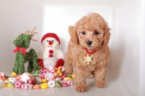 トイプードルの子犬(ID:1250011123)の1枚目の写真/更新日:2018-12-09