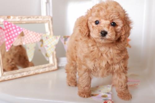 トイプードルの子犬(ID:1250011123)の2枚目の写真/更新日:2017-04-24