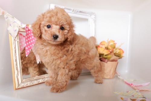 トイプードルの子犬(ID:1250011123)の3枚目の写真/更新日:2018-12-09