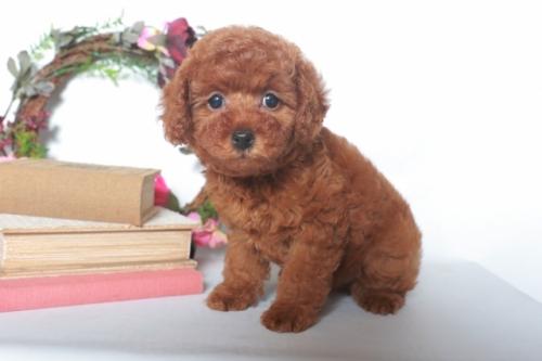 トイプードルの子犬(ID:1250011124)の1枚目の写真/更新日:2017-05-20