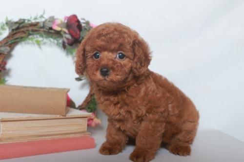 トイプードルの子犬(ID:1250011124)の2枚目の写真/更新日:2019-02-18