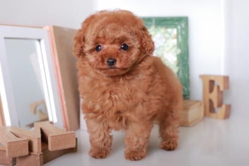 トイプードルの子犬(ID:1250011125)の1枚目の写真/更新日:2017-06-19
