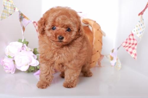 トイプードルの子犬(ID:1250011125)の2枚目の写真/更新日:2017-06-19
