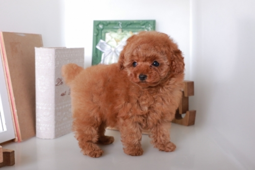 トイプードルの子犬(ID:1250011125)の3枚目の写真/更新日:2017-06-19