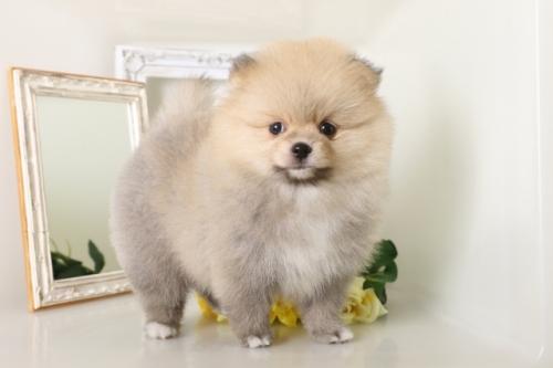 ポメラニアンの子犬(ID:1250011126)の1枚目の写真/更新日:2017-05-20