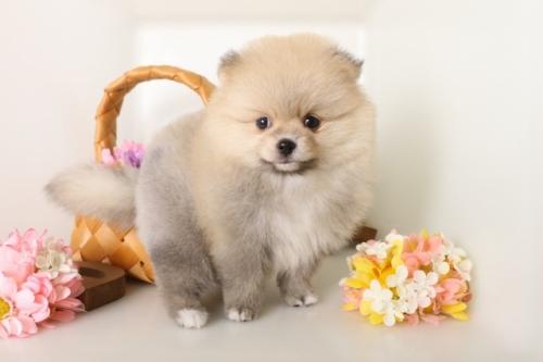 ポメラニアンの子犬(ID:1250011126)の2枚目の写真/更新日:2017-05-20