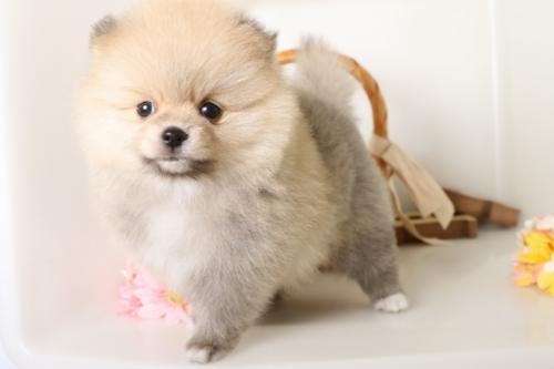 ポメラニアンの子犬(ID:1250011126)の3枚目の写真/更新日:2017-05-20
